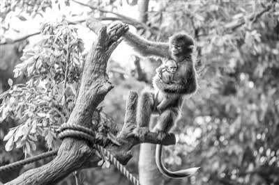 川金丝猴宝宝满月 人工育幼保证幼崽健康成长