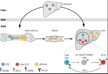 科学家首次发现天然淋巴细胞骨髓外发育路径