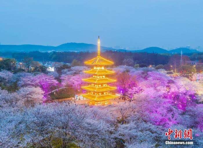 2021年3月14日,风和日丽,前来湖北武汉东湖樱花园赏花的游客剧增。傍晚,盛开的满园樱花在夜色灯光的衬托下更显炫丽,游客仿佛置身于五彩缤纷的奇幻世界里。<a target='_blank' href='http://www.chinanews.com/'><p  align=