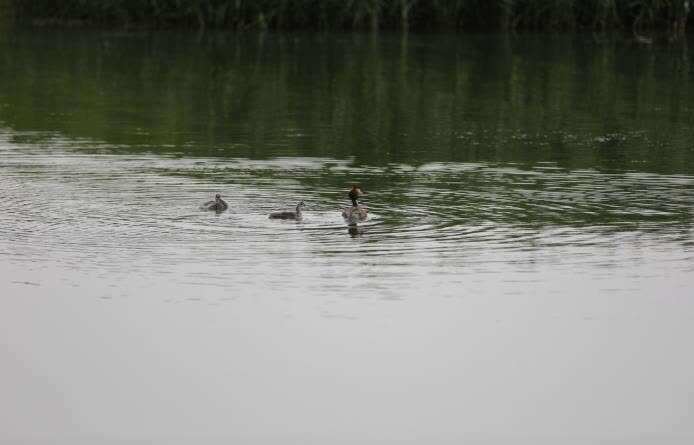 乌梁素海水质改进后,吸引了大量的鸟类栖息和繁殖。