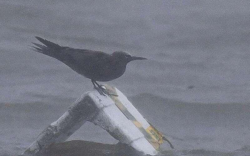 """灿都台风给上海""""吹""""来新品野生鸟类,近10年有9种远洋海鸟被台风吹来"""